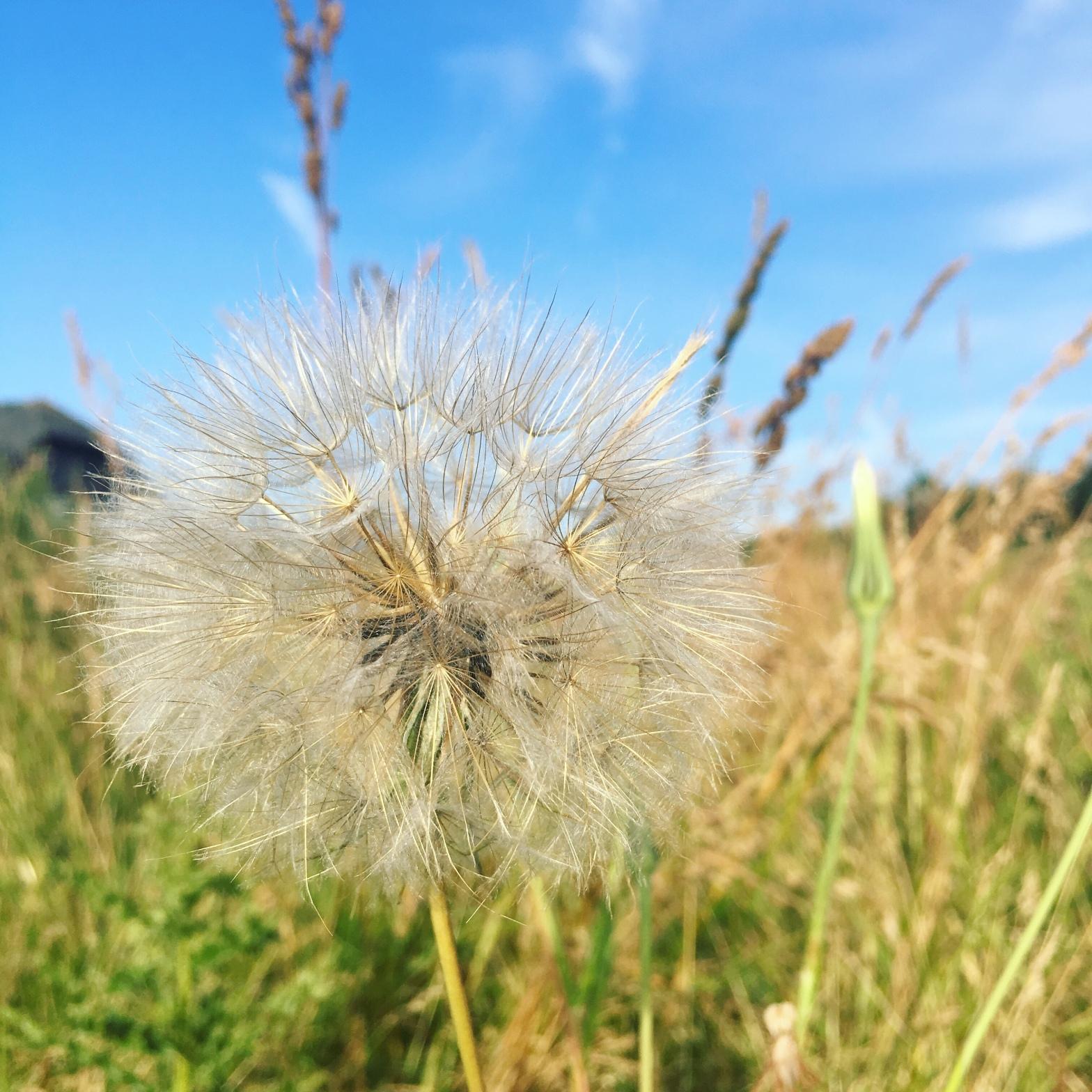 Close up of a Dandelion in a field